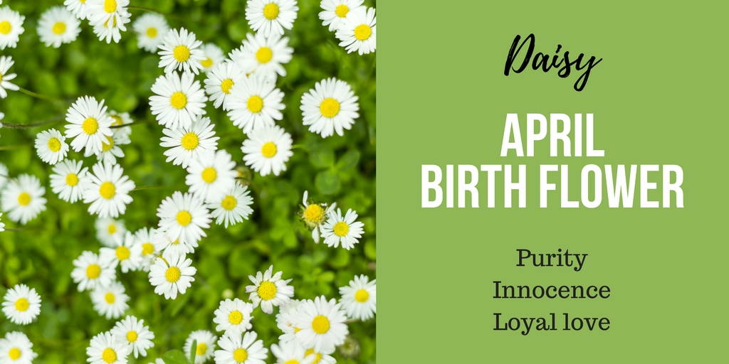 April Birth Flower Daisy