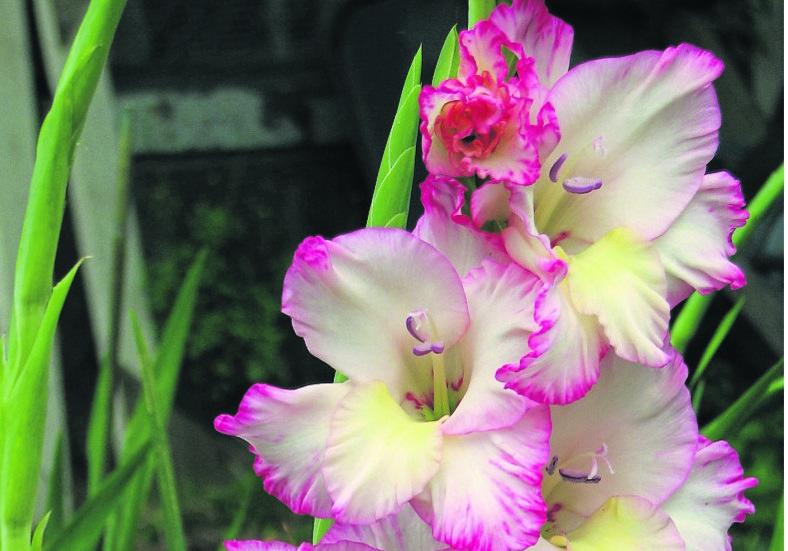 August Birth Flower Gladiolus