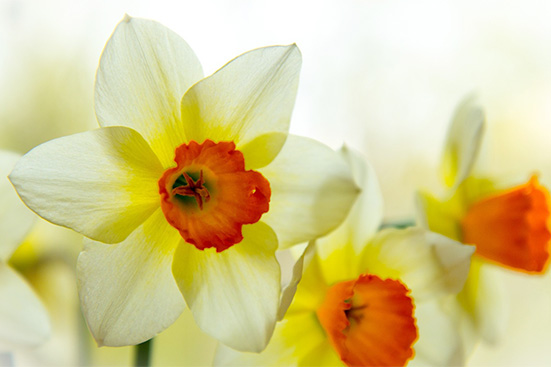 December Birth Flower Narcissus
