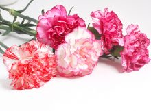 January Birth Flower Carnation