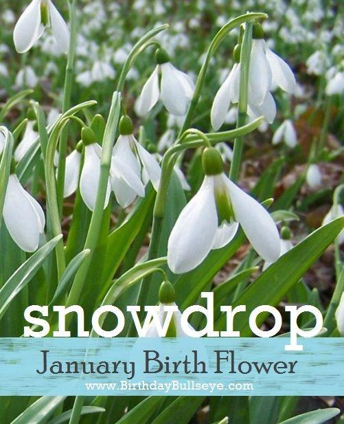 January Birth Flower Snowdrop