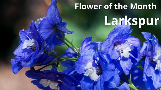 July Birth Flower Larkspur
