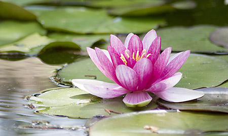 July Birth Flower Water Lily