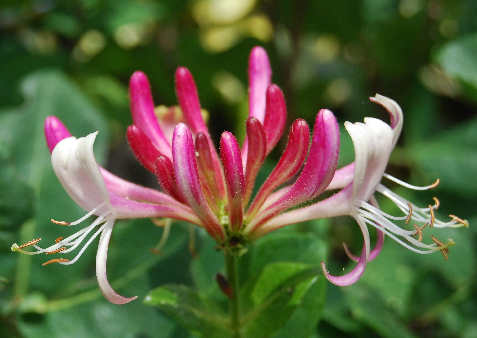 June Birth Flower Honeysuckle