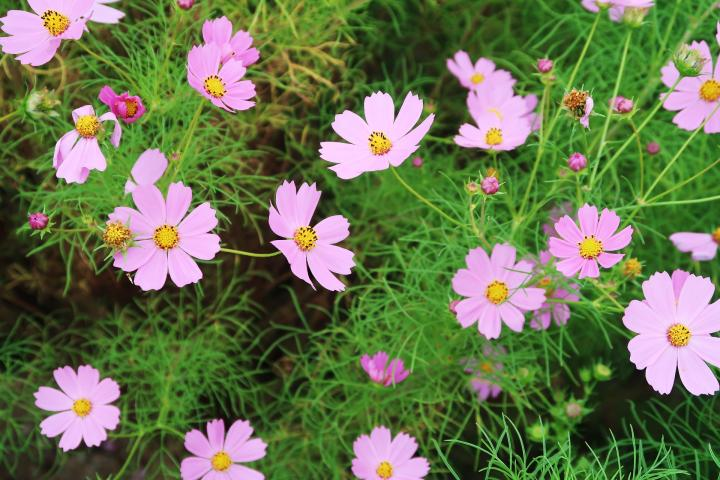 October Birth Flower Cosmos