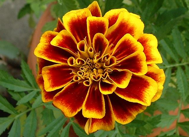 October Birth Flowers Marigold