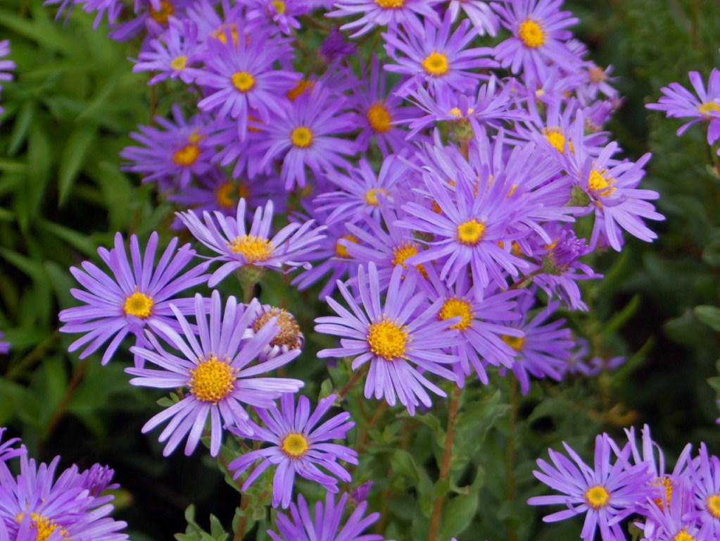 September Birth Flower Aster